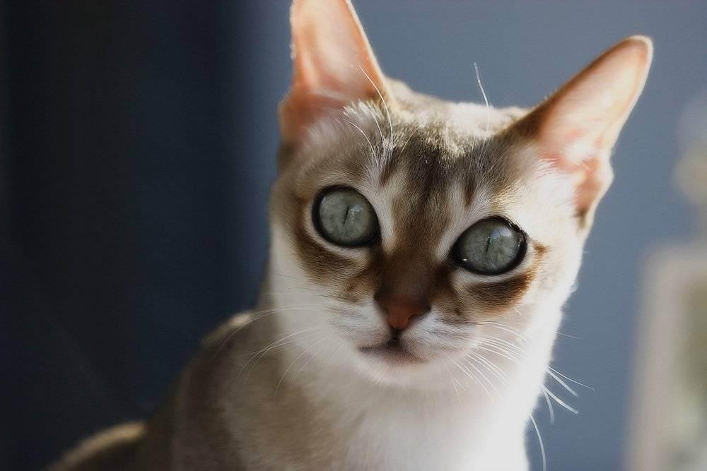 Самые маленькие кошки в мире: описание пород, характеристика