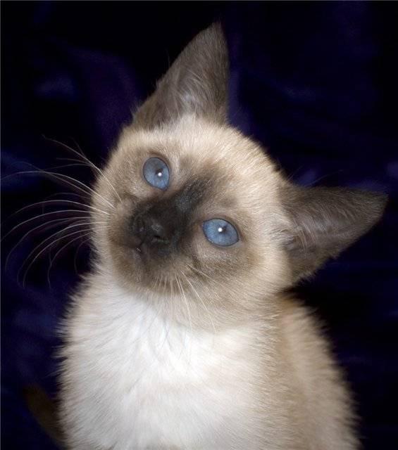Как назвать сиамского кота: мальчика, девочку, клички породы