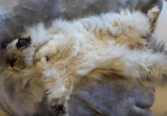 Колтуны и волосяные катышки у кошек