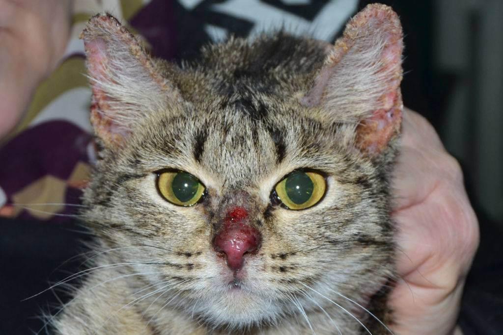 Может ли кошка заразиться туберкулезом. туберкулез у кошек: симптомы, терапия и риск передачи владельцу. как заражается собака туберкулёзом