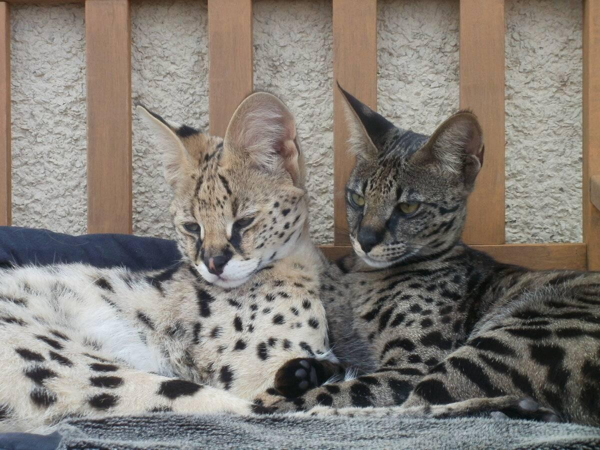Саванна – кошка большого размера с дружелюбным характером, особенности содержания