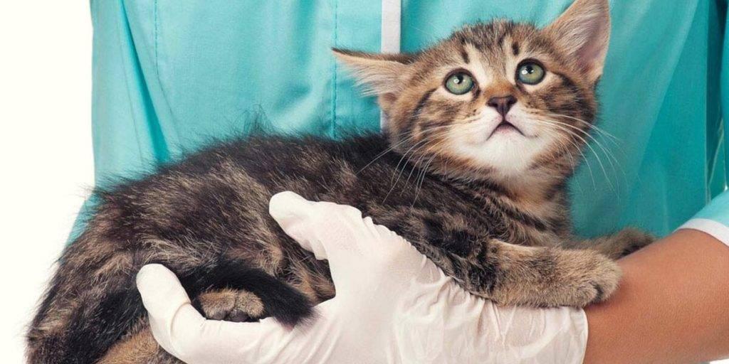 Какие и когда первые прививки делают котятам?