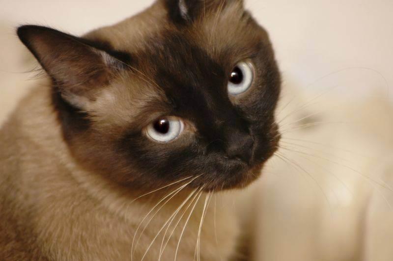 Как отучить кота метить территорию в квартире, как с этим бороться, что делать