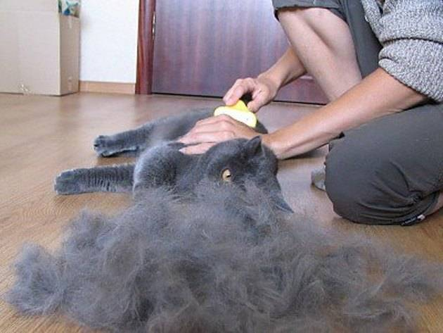 Стрижка котов: как подстригать котов дома? виды стрижек для кошек
