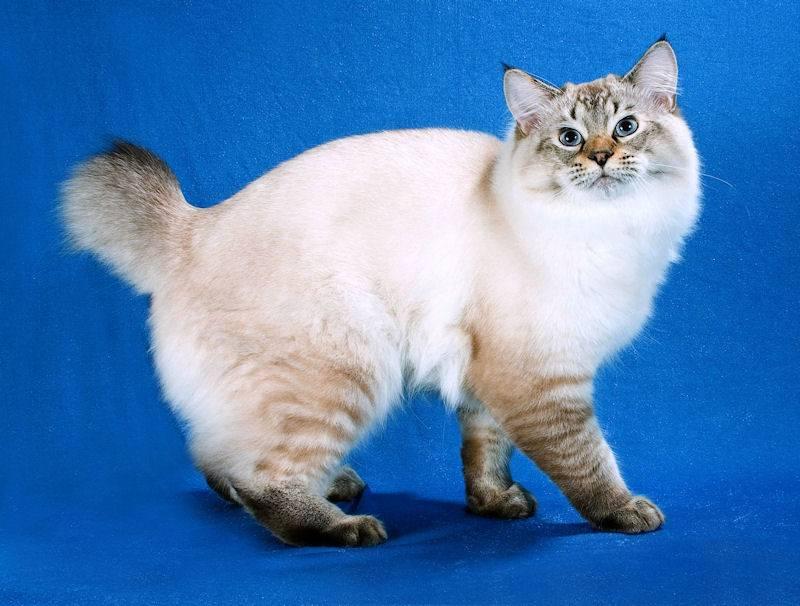 Породы кошек с коротким хвостом – название, описание и фото