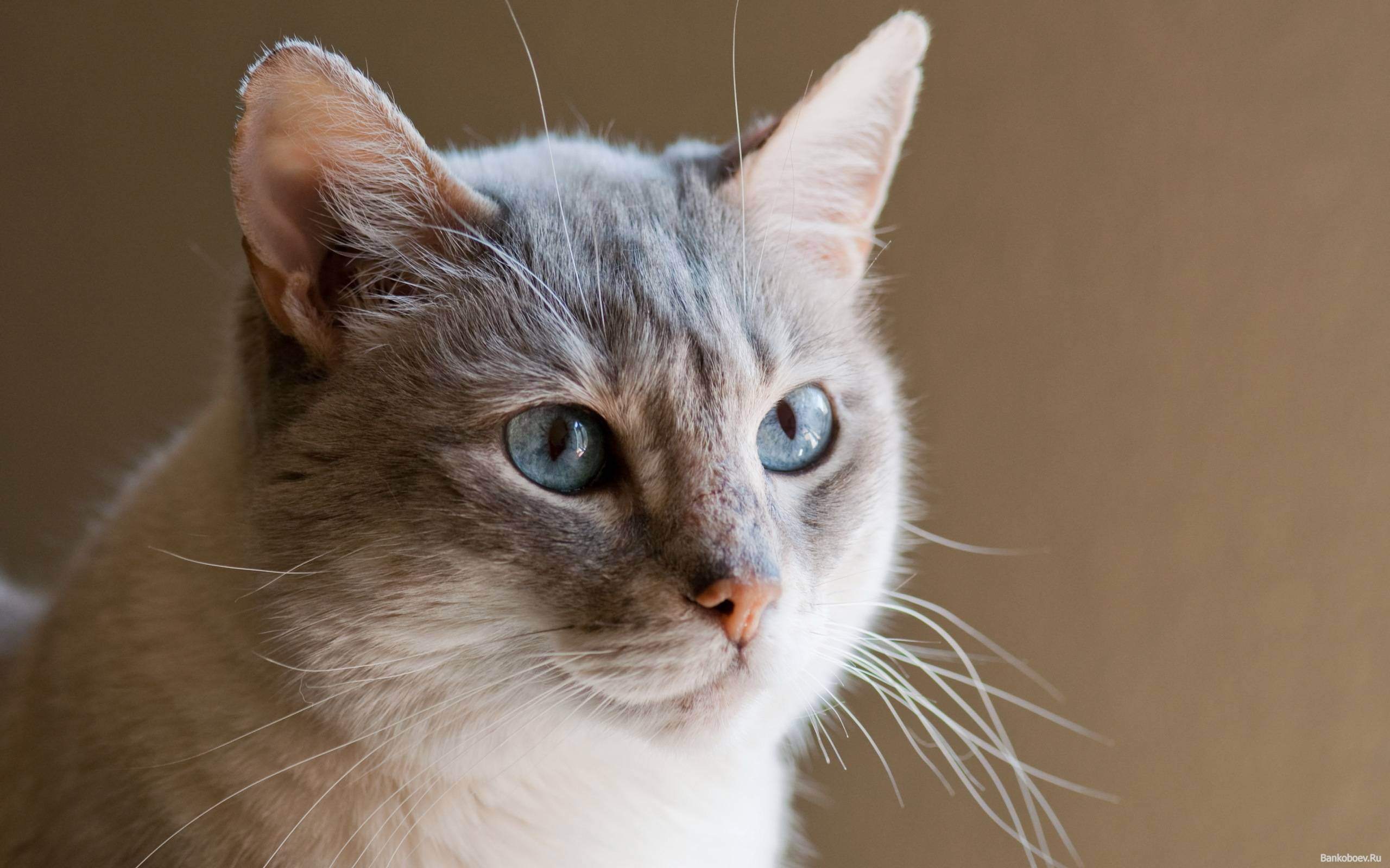 """Как определить беременность кошки в домашних условиях: признаки, симптомы — """"лапы и хвост"""""""