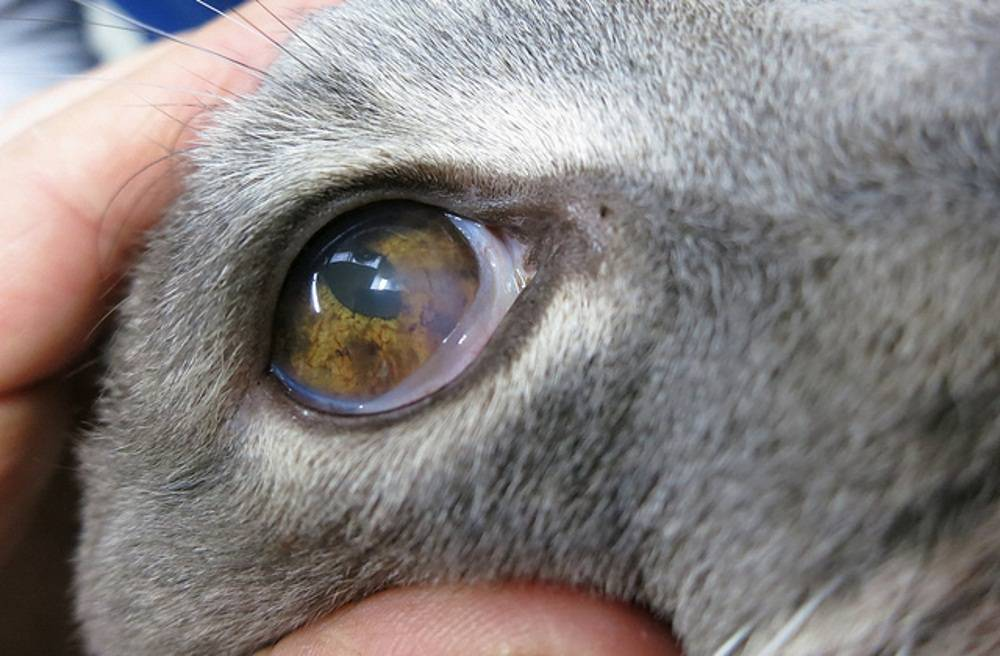 Что делать, если у котенка закисают глаза?