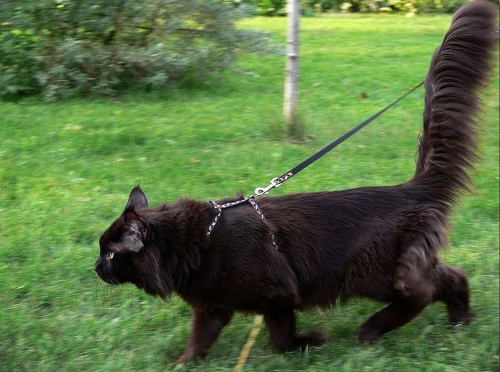 Половая охота котов: признаки, длительность. кот просит кошку, особенности половой охоты у котов и способы решения проблемы. что делать хозяину, когда кот хочет кошку?