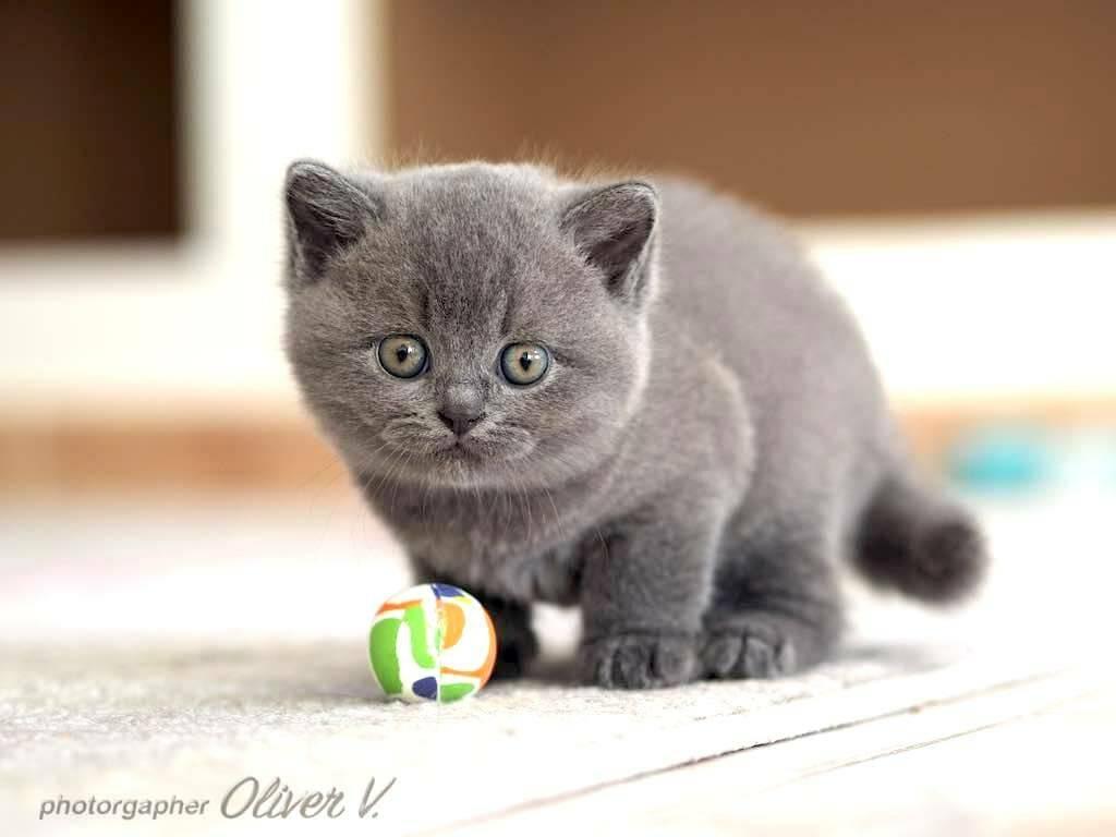 Выбираем британского короткошерстного котенка: как, где и почем; отзывы о характере кошек   сайт о домашних животных