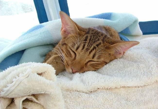Как померить температуру кошке