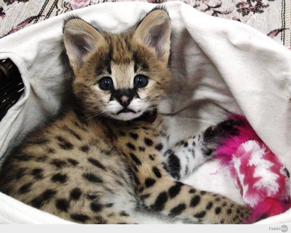 Кошка сервал – можно ли содержать животное дома, правила ухода и интересные факты о породе