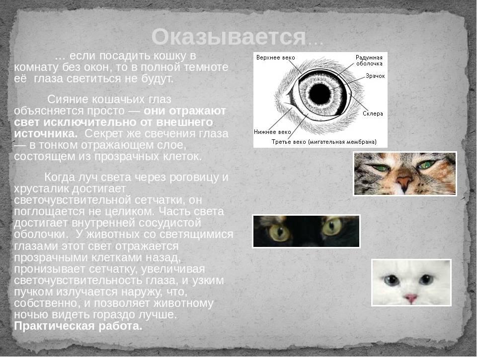 Глаза кошки: их строение, уход за ними, глазные болезни и их лечение