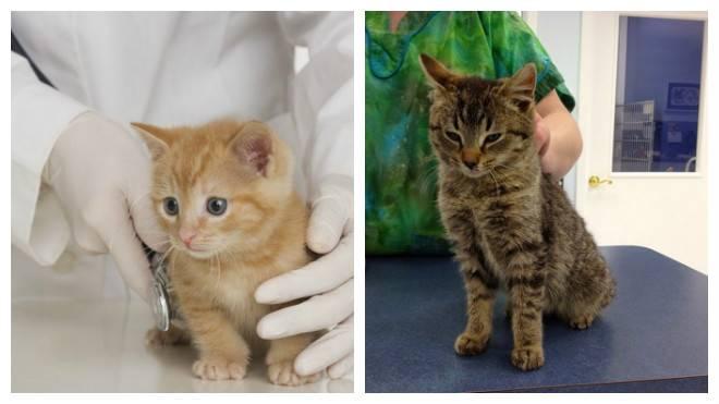 Желтый понос у кошки: структура выделений, причины, лечение