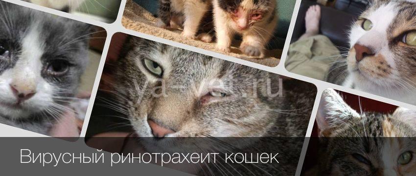 Ринотрахеит у кошек: лечение, профилактика, симптомы