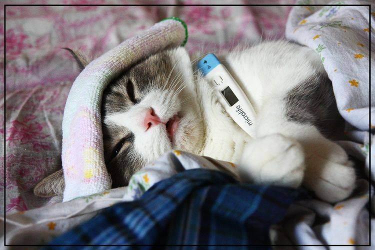 Как померить температуру кошке в домашних условиях