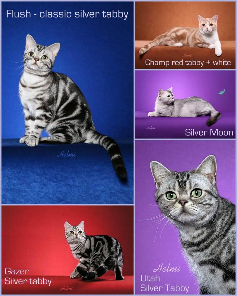 Какие бывают короткошерстные породы кошек