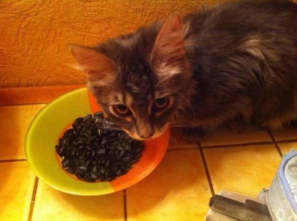 Можно ли давать кошке семечки - домашние наши друзья