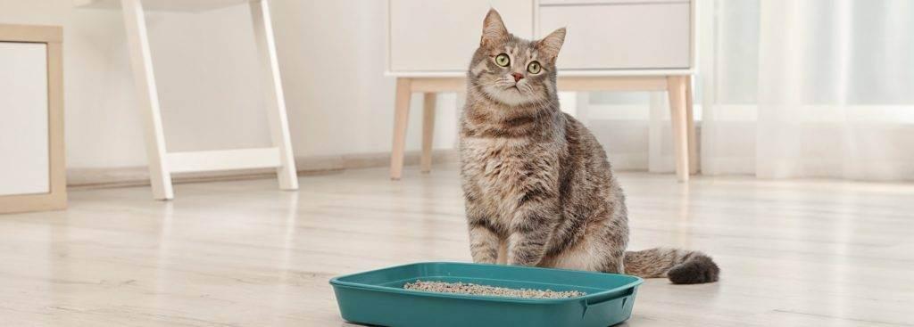 У кошки запор: что делать, лечение в домашних условиях