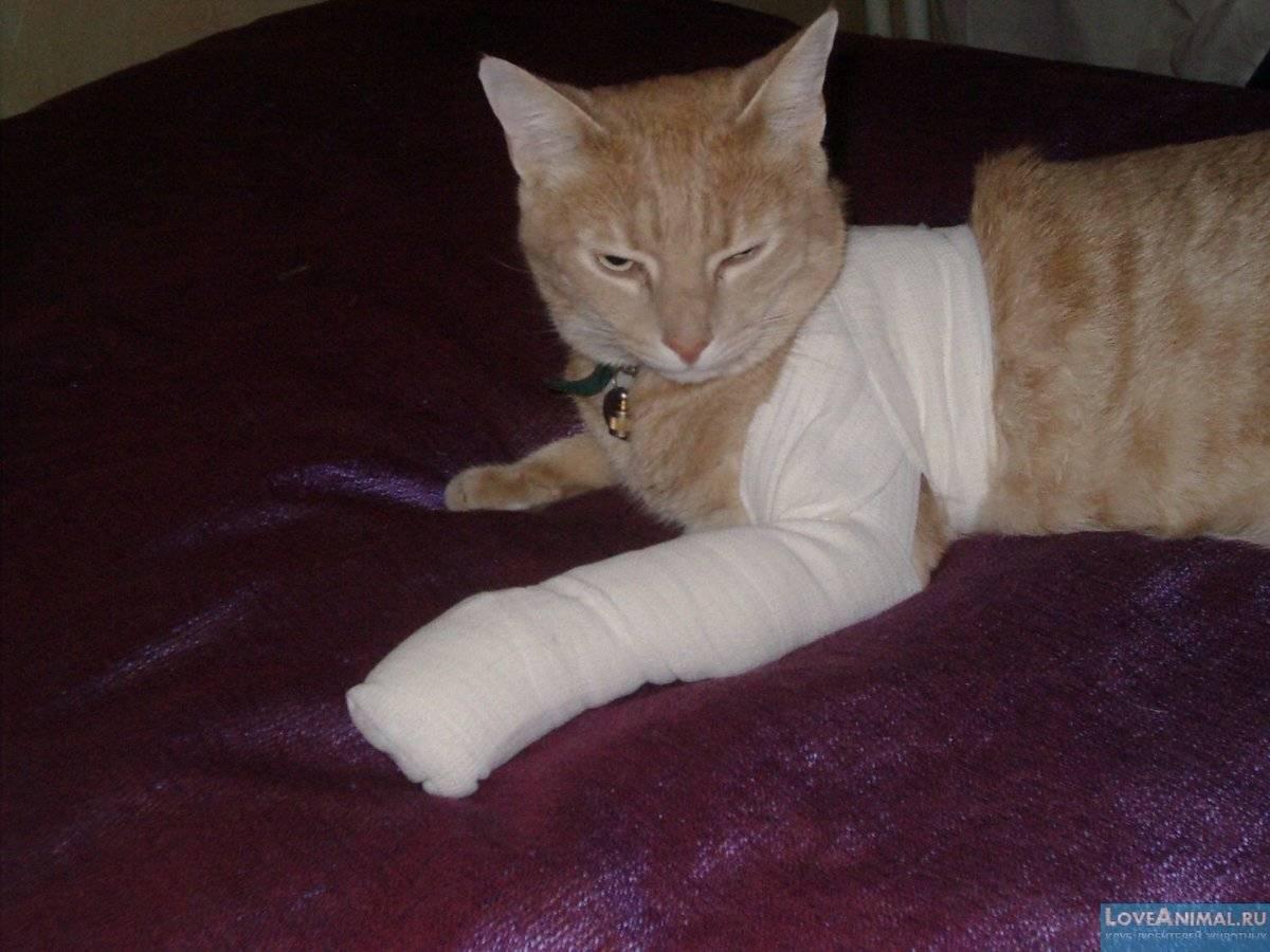 Как помочь коту, который сломал лапу: симптомы и способы лечения дома
