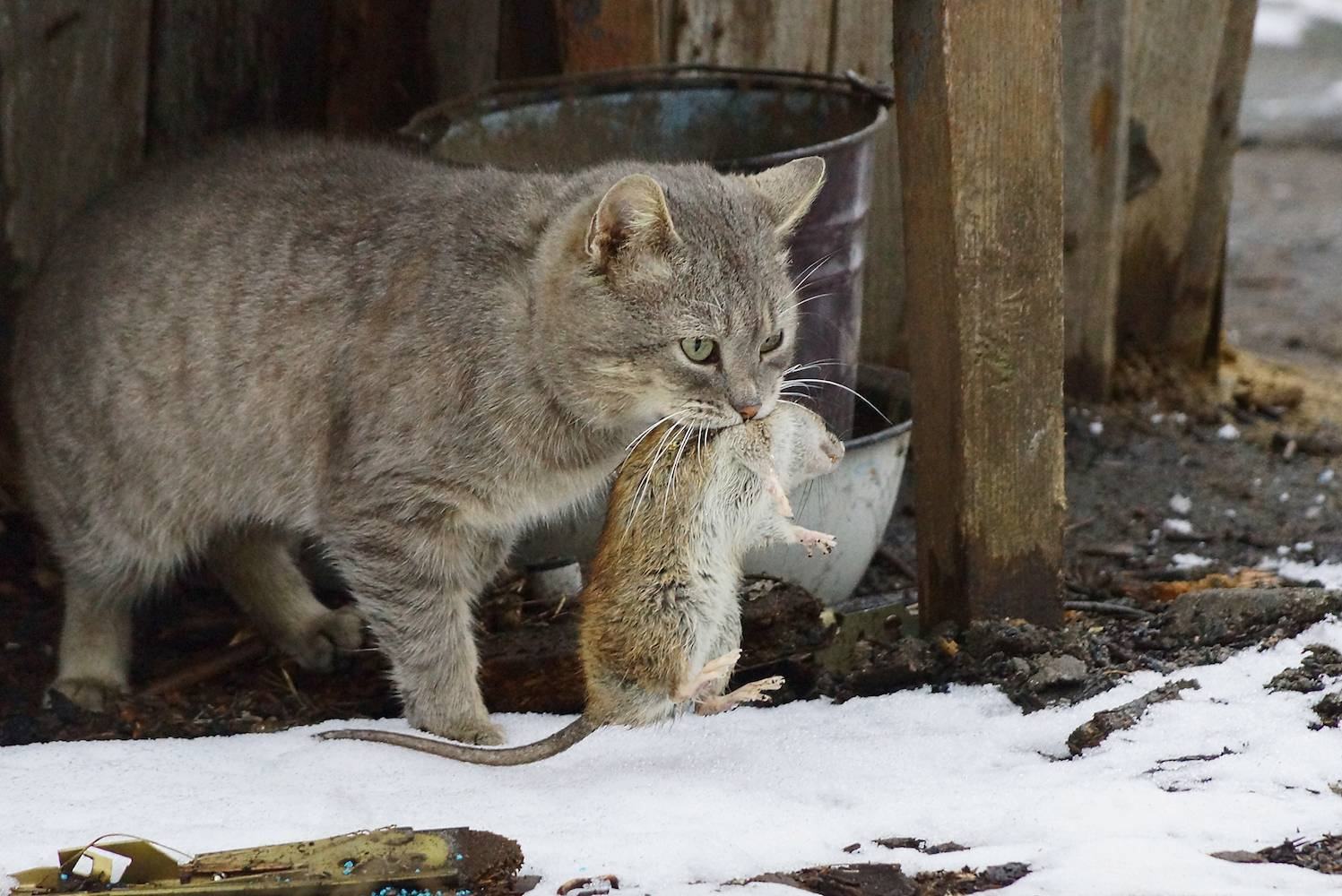 ᐉ кто лучше ловит мышей и крыс: кот или кошка, какая порода, кого лучше завести - kcc-zoo.ru