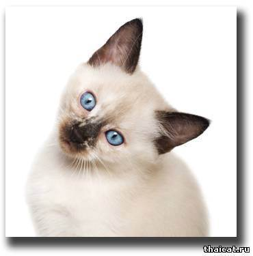Почему кошка чихает - причины и лечение