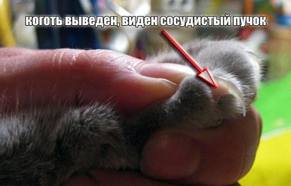 Почему кошка грызет когти: физиологические или психологические проблемы. как помочь питомцу?