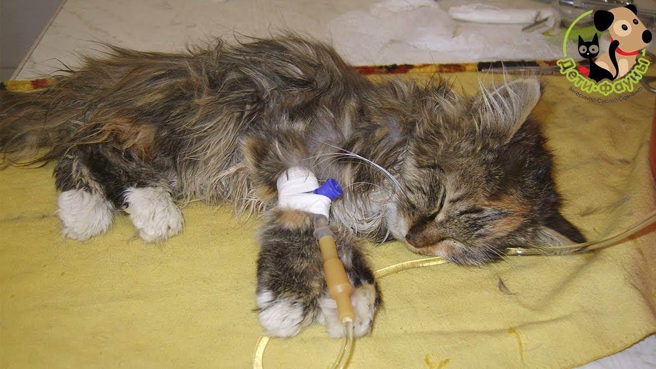Симптомы и лечение чумки у кошек в домашних условиях, опасность кошачьей болезни для человека