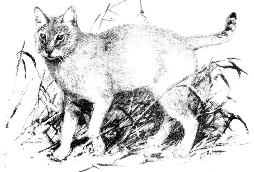 Камышовый кот, хаус, или болотная рысь (felis chaus) - животные и природа