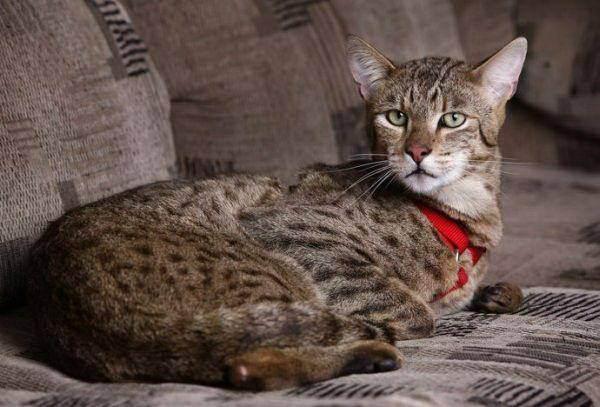 Ашера: самая дорогая порода кошек
