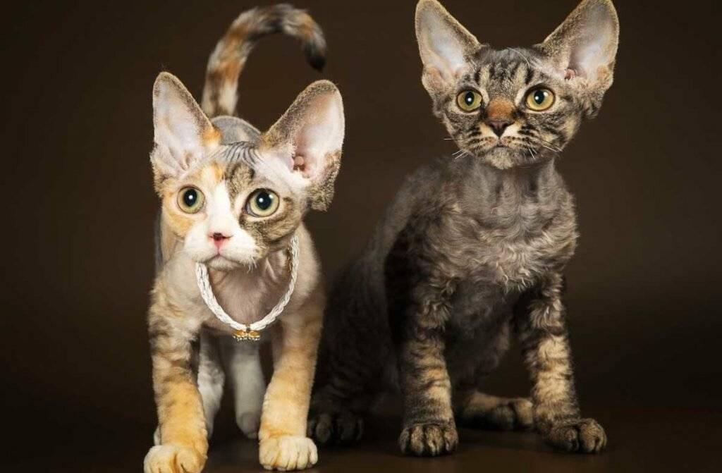 Самые добрые кошки: топ -19 умных и дружелюбных пород кошек