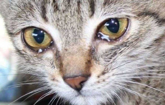 У кошки слезятся глаза: как отличить норму от патологии, уход в домашних условиях