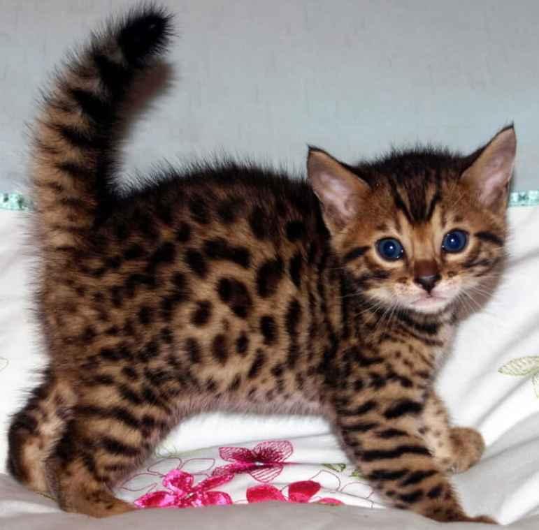 Характеристики уникальной породы домашних бенгальских кошек