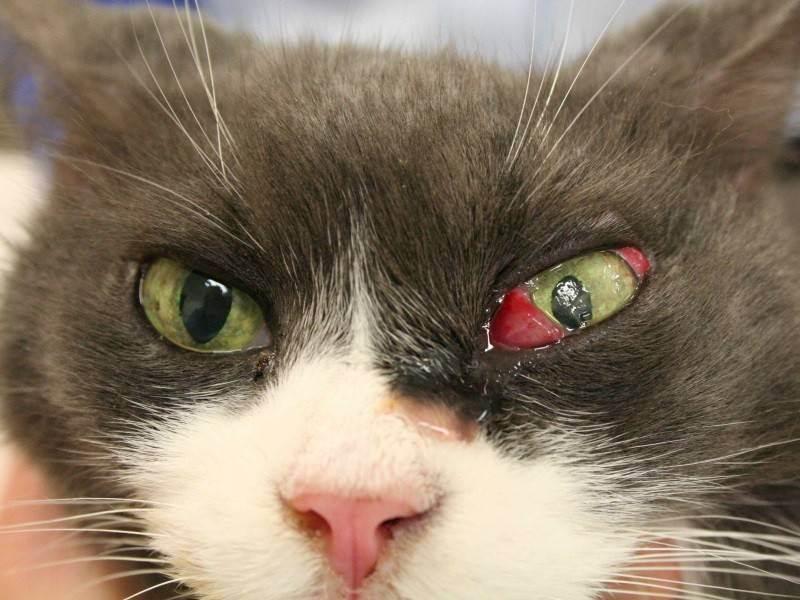 Третье веко у кота лечение капли - муркин дом