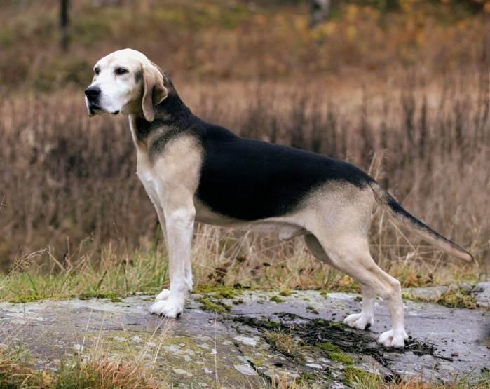 Турецкий каталбурун: необычная охотничья собака с раздвоенным носом
