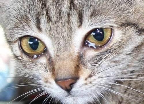 У кошки темные коричневые выделения из глаз: что это такое и чем лечить животное?
