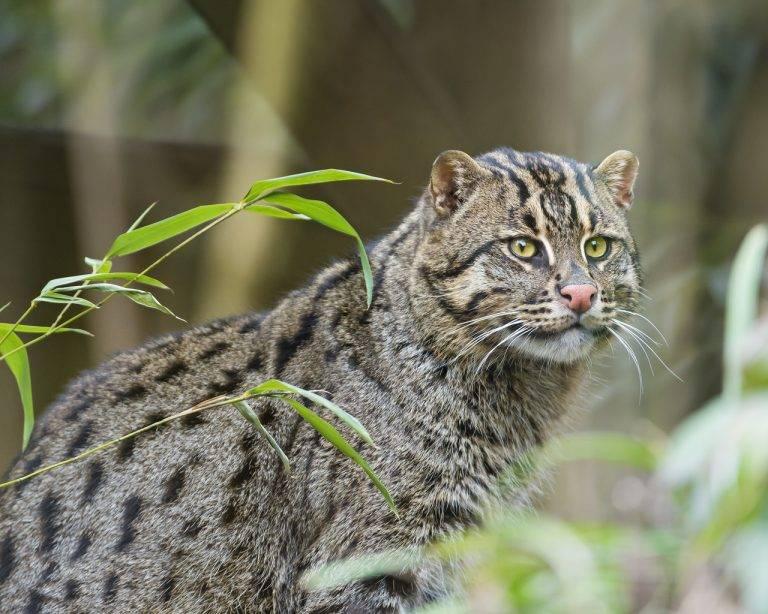 Виверровый кот-рыболов: описание, среда обитания, характер, содержание в домашних условиях, фото, отзывы владельцев