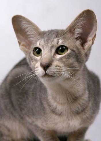 Породы кошек с круглыми ушами