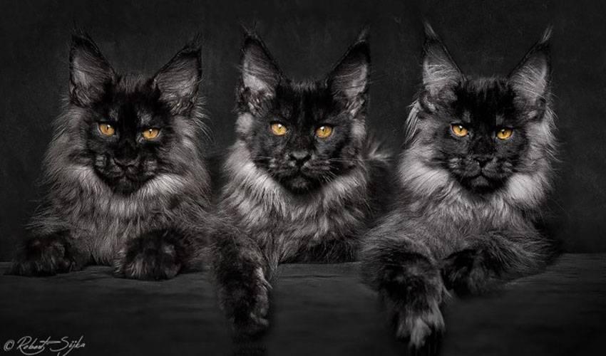 Большие мейн-куны черного цвета: виды окраса, уход и выбор котенка