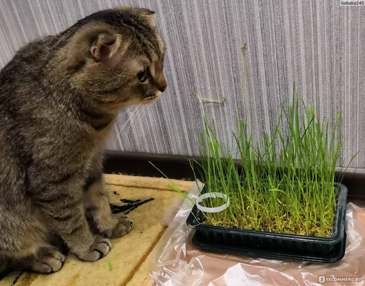 Трава для кошек: какая любимая, как посадить и вырастить | сайт «мурло»
