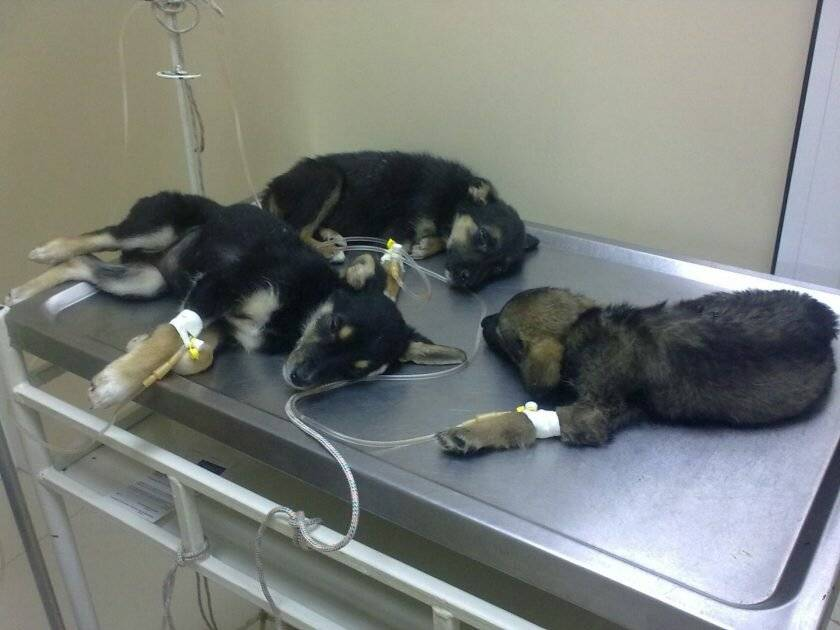 Парвовирус у собак — симптомы и причины заболевания   hill's pet