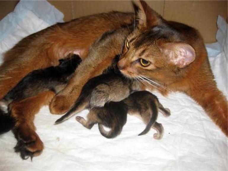 Как принять роды у кошки в домашних условиях: полезные советы