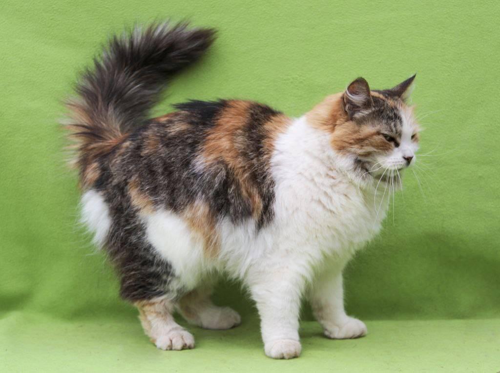 Кимрик (уэльская кошка): описание породы, характер, советы по содержанию и уходу, фото