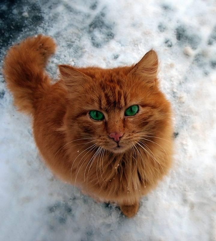 Кот рыжий с зелеными глазами — описываем подробно