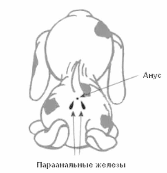 Параанальные железы у кота как лечить