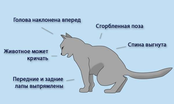 Пиелонефрит у кошки симптомы и лечение
