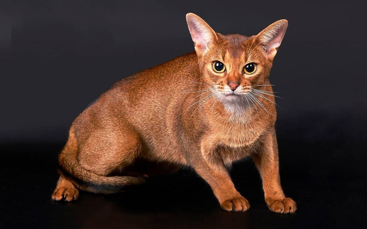 Абиссинская кошка: фото, описание породы, характер, здоровье, уход и содержание