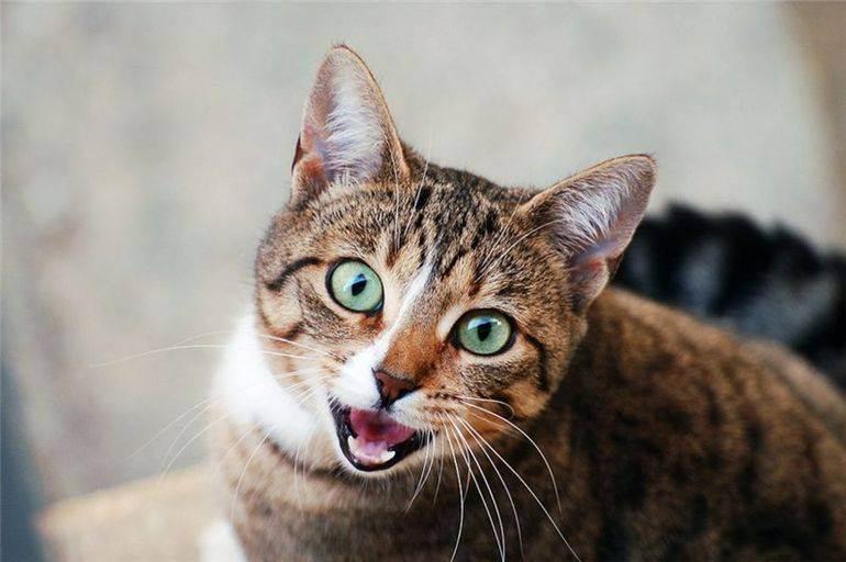 Как кошки манипулируют человеком