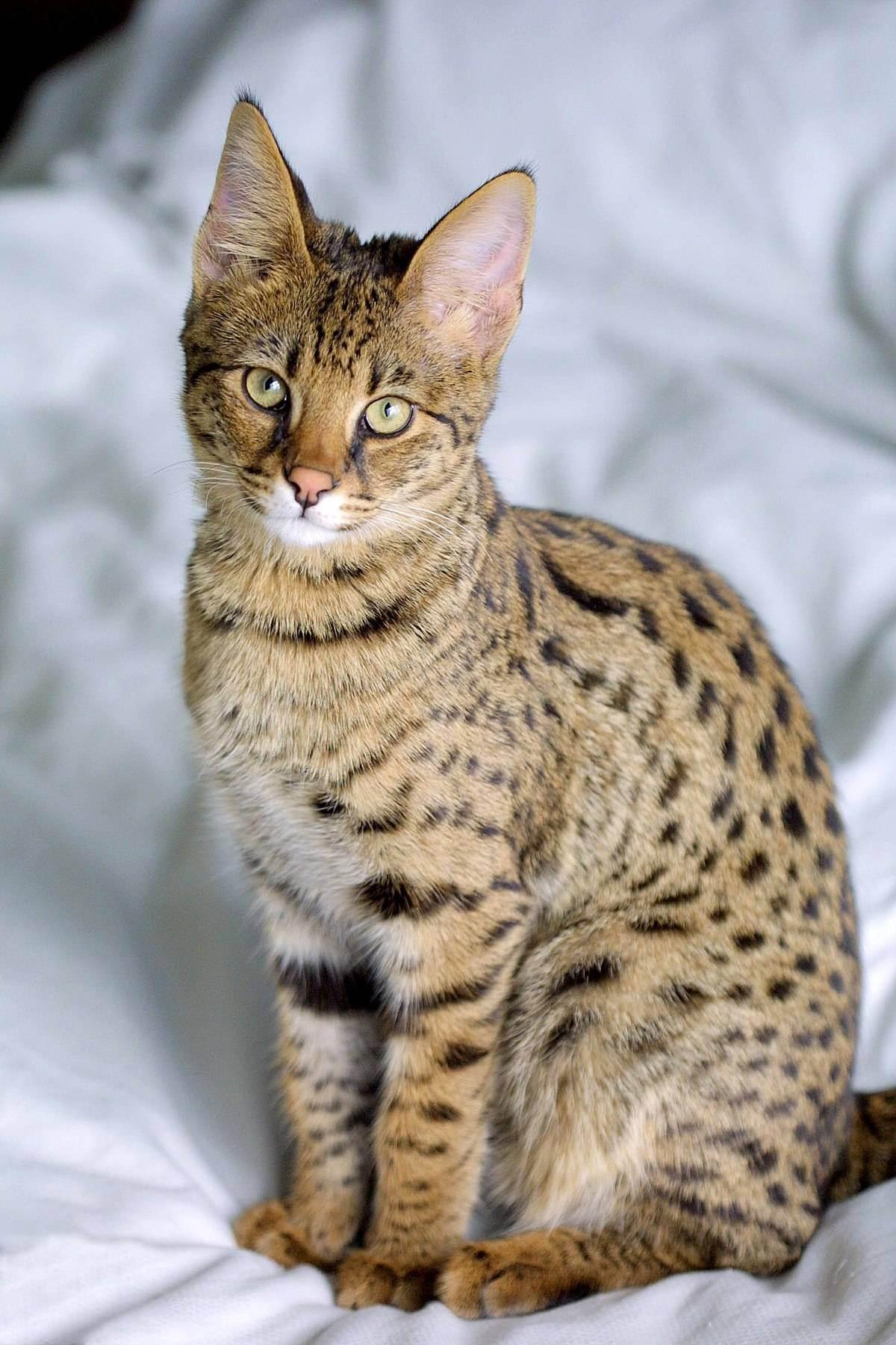 Котята саванна: описание породы, характер, уход и содержание в домашних условиях