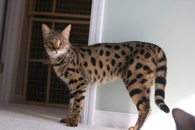 Саванна (кошка)