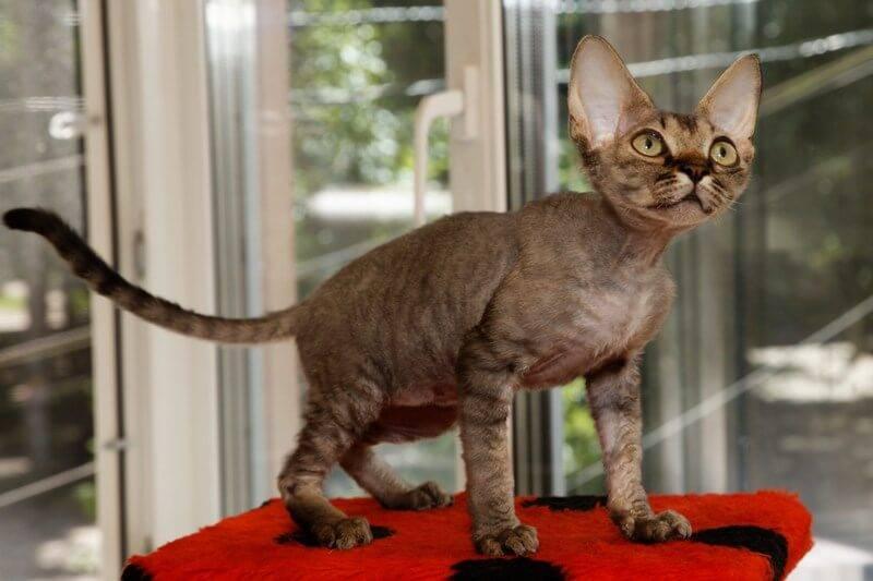 Порода кошек девон-рекс